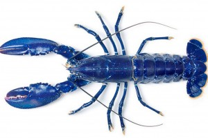 an-incredible-electric-blue-lobster-caught-in-the-uk-pic-solent-144214462
