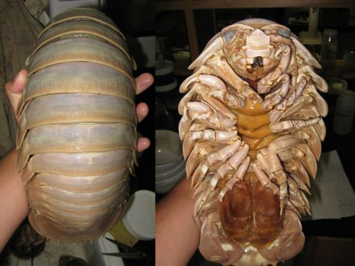 Weird Animal Giant Isopod