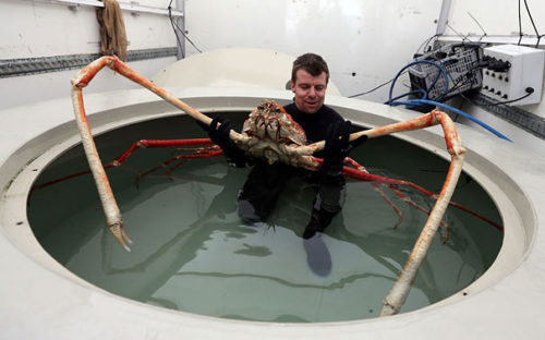 Weird Animal Japanese Spider Crab