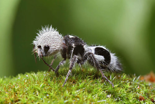 Weird Animal Panda Ant