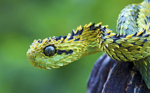 Weird Animal Bush Viper