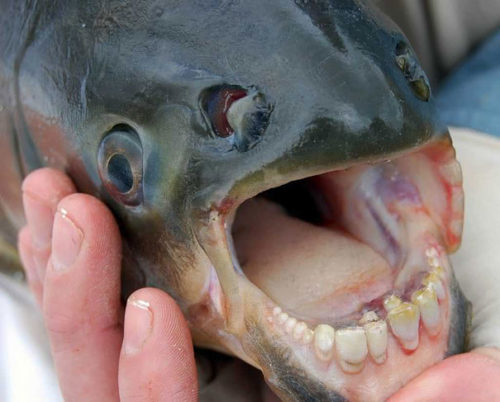 Weird Animal Pacu Fish